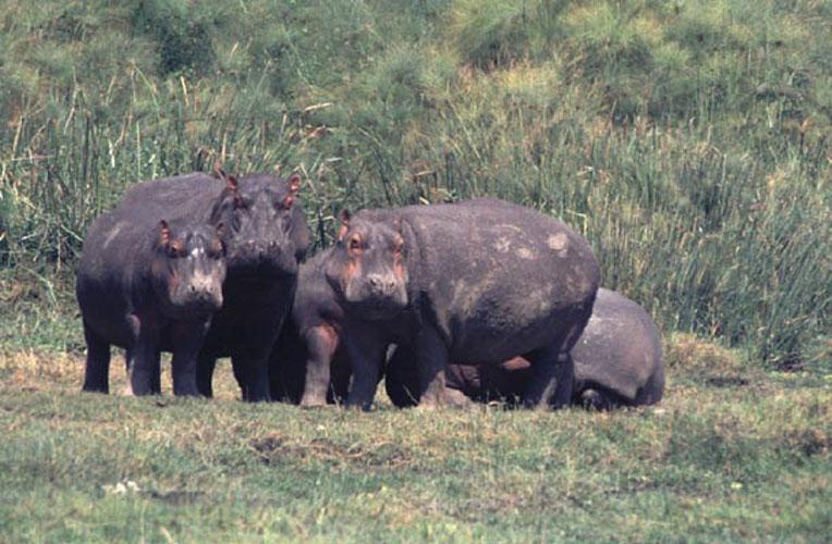 ecard 1581-nijlpaardfamilie-2
