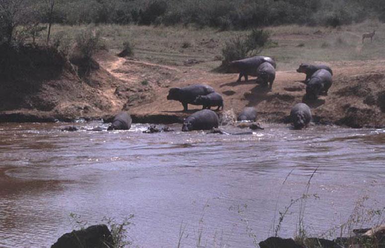 ecard 1582-nijlpaardfamilie-2