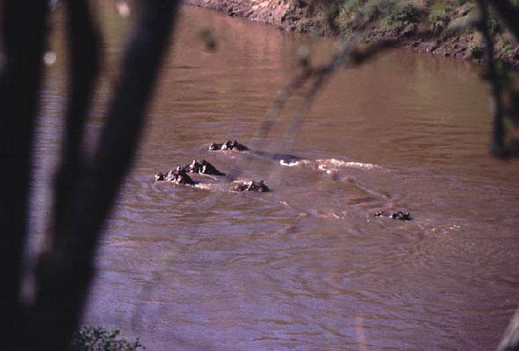 ecard 1584-zwemmende-nijlpaarden
