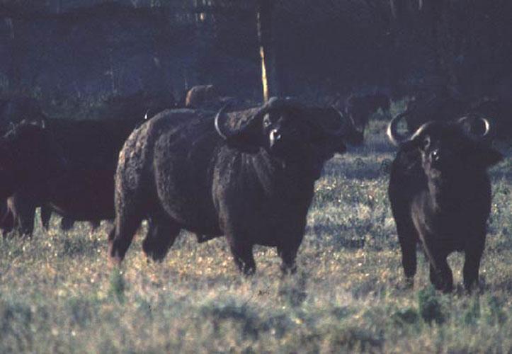 ecard 1587-buffels