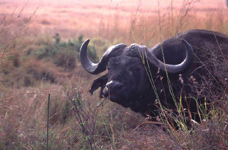 ecard 1588-buffel