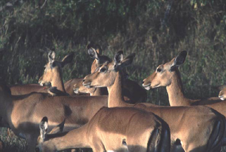 ecard 1600-impala's