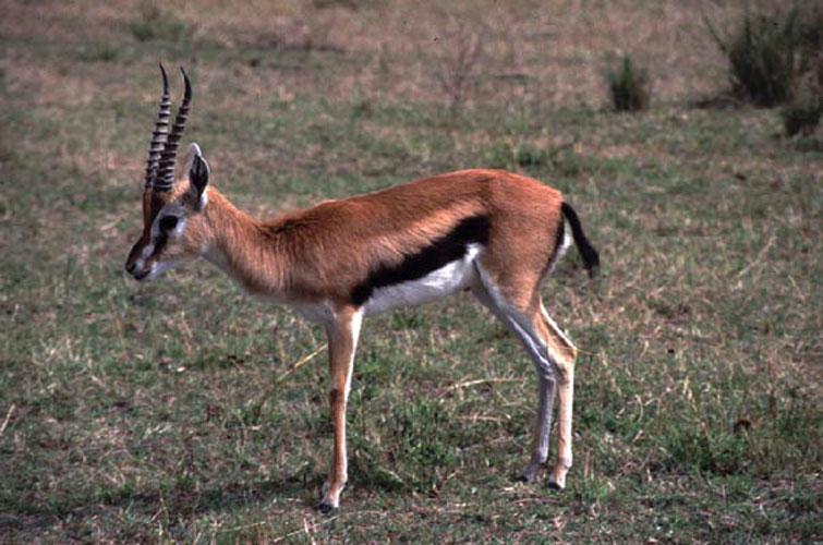ecard 1601-impala