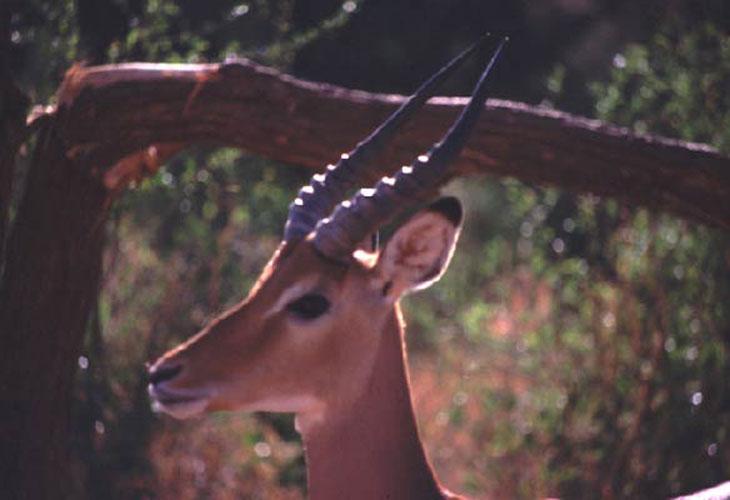 ecard 1602-portret-impala