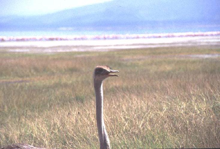 ecard 1626-struisvogelportret