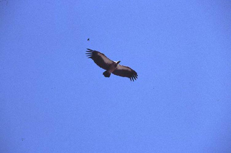 ecard 1630-vliegende-visarend