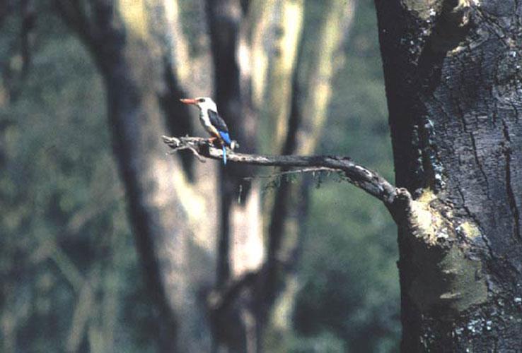 ecard 1632-bos-ijsvogeltje