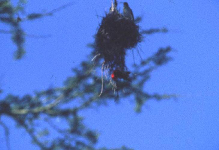 ecard 1634-nest-met-roodkopwevers
