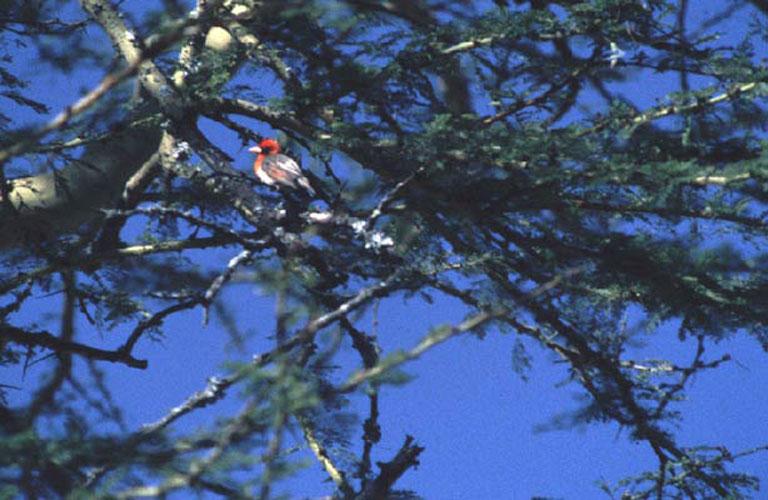 ecard 1635-roodkopwever-man