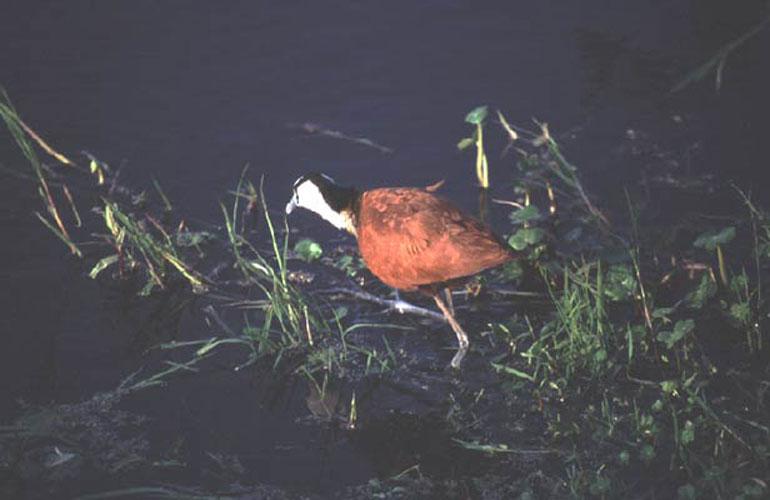 ecard 1639-wadende-vogel