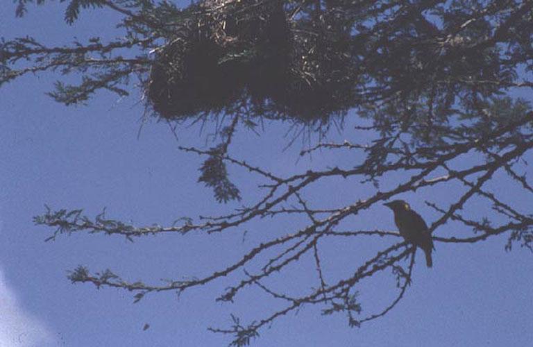ecard 1642-wevervogel