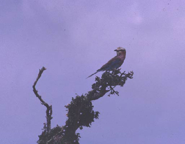 ecard 1667-zangvogeltje