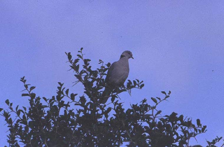 ecard 1668-duif