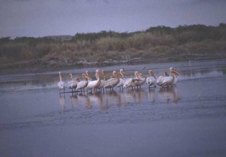ecard 1680-pelikanen-2