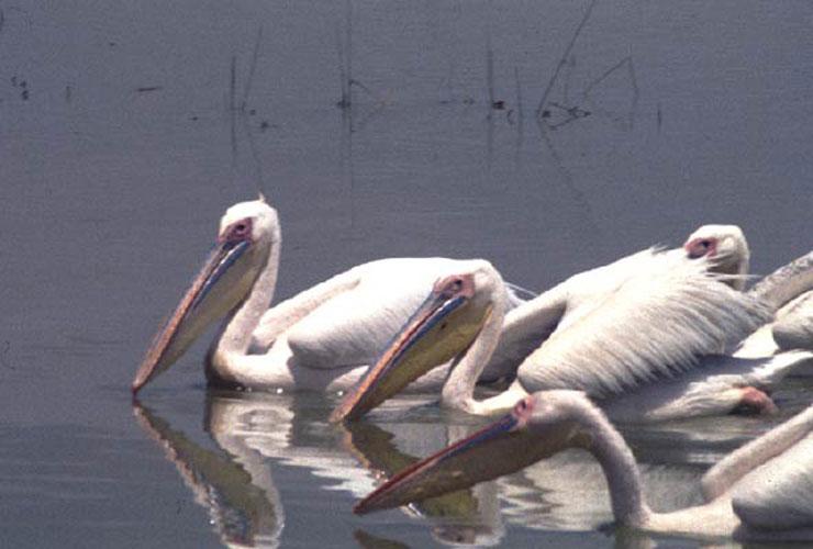 ecard 1682-pelikanen-4