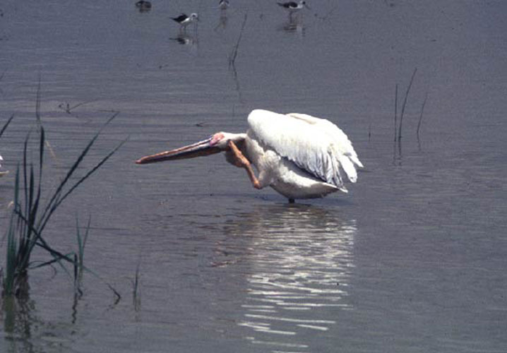 ecard 1683-pelikanen-5