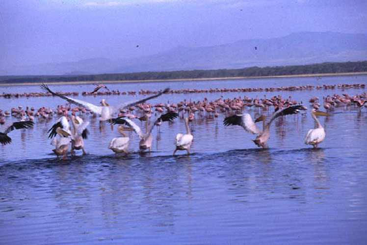 ecard 1684-pelikanen-6