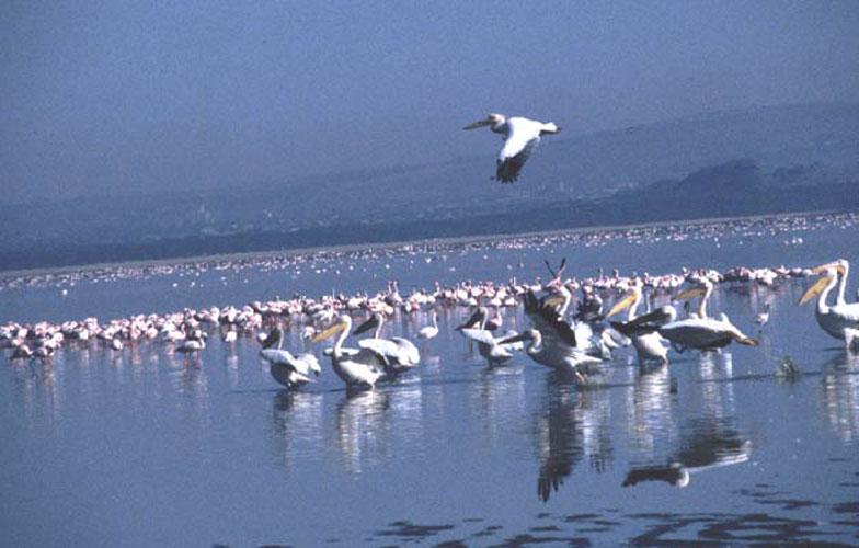 ecard 1685-pelikanen-7