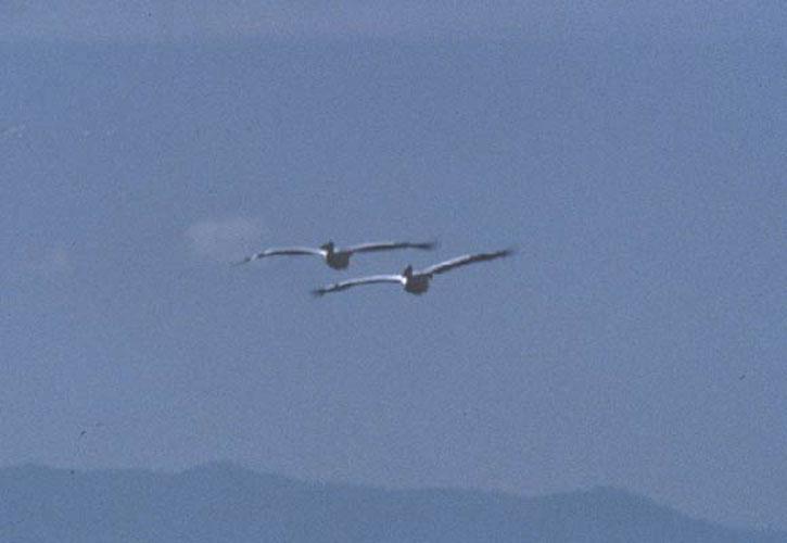 ecard 1686-vliegende-pelikanen-1