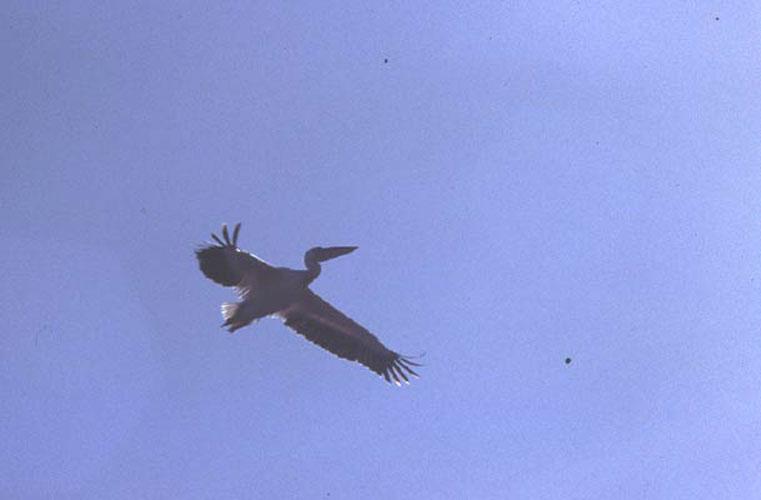 ecard 1687-vliegende-pelikanen-2