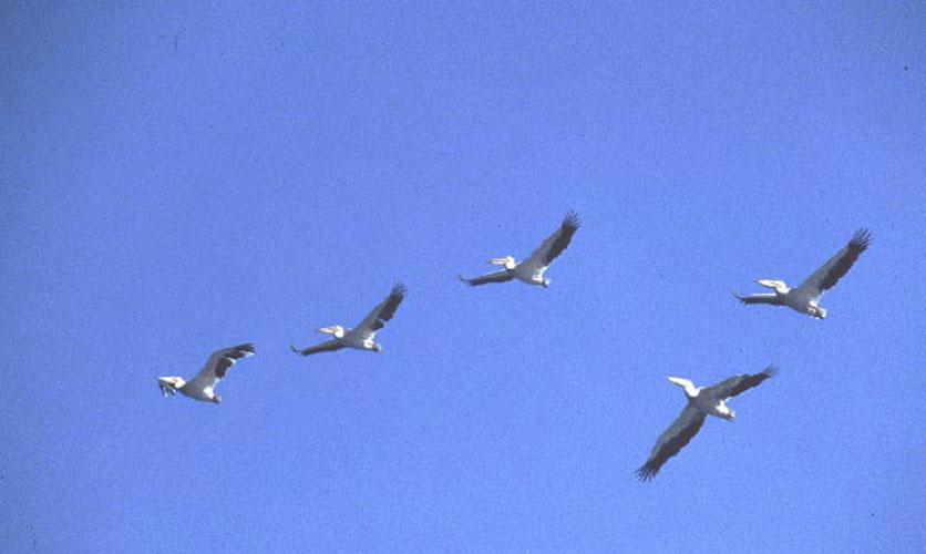 ecard 1688-vliegende-pelikanen-3