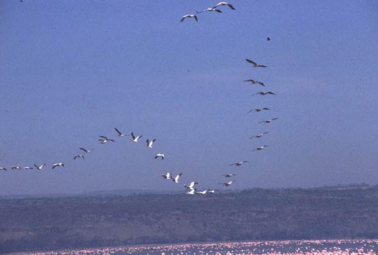 ecard 1689-vliegende-pelikanen-4