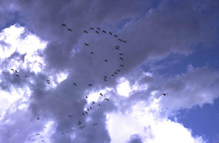 ecard 1690-vliegende-pelikanen-5