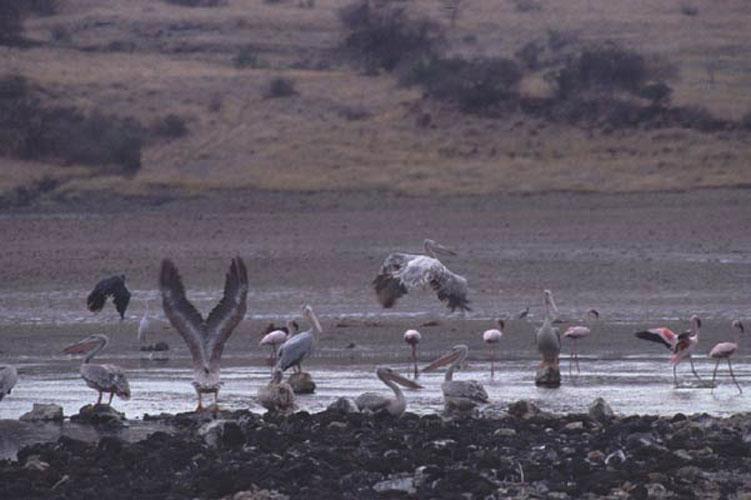 ecard 1691-vliegende-pelikanen-6