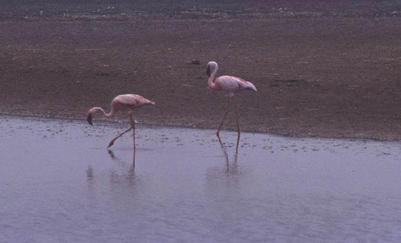 ecard 1693-flamingo-2