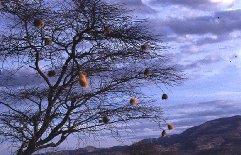 ecard 1728-wevervogelnesten