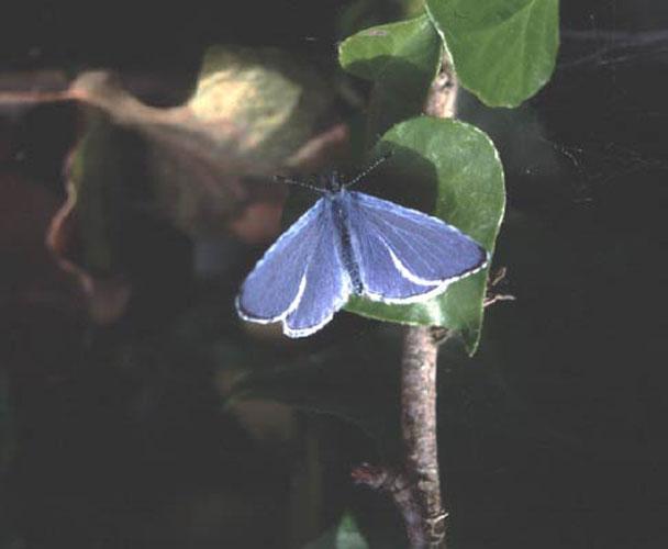 ecard 105-blauwtje-1