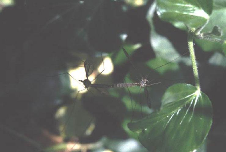 ecard 302-parende-langpootmuggen