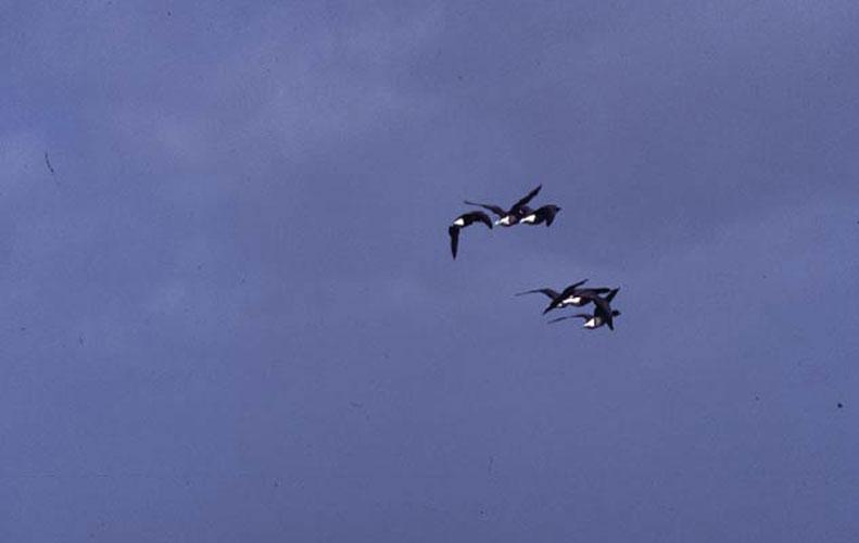ecard 520-vliegende-ganzen-2